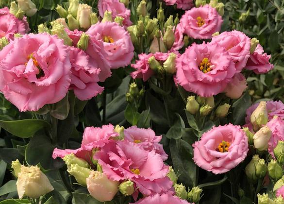 Produzione italiana fiori recisi